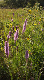 Early Summer Prairie Blazing Star